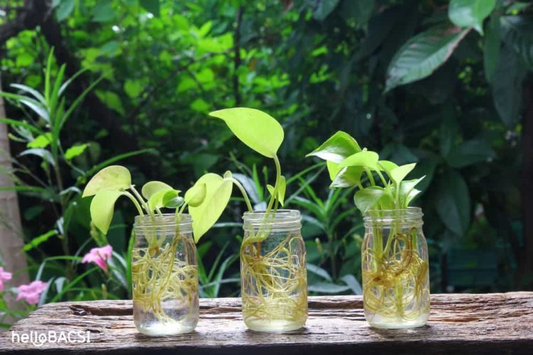 16 loại cây trồng trong nước siêu dễ sống cho nhà thêm tươi mát